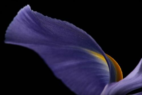 iris-flower.jpg