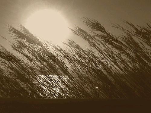 canne al vento.jpg
